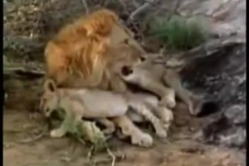 A LION CALLED CHRISTIAN_ The Touching Reunion - YouTube [360p] thumbnail