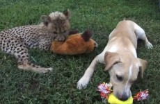 Baby Cheetah and Puppy