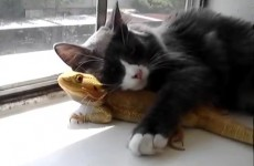 Puppet and Puff! (Cat loves Bearded Dragon) [360p](1) thumbnail